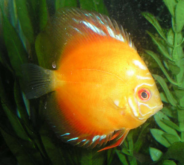 Discus Aquarium Fish should be fed a varied, vitamin and protein rich