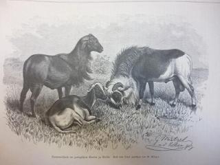 mouton cameroun histoire origine