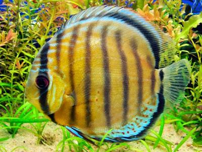 Disco Symphysodon