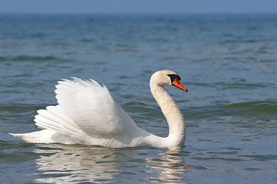 Muoversi veloci in acqua: Cigni a vela