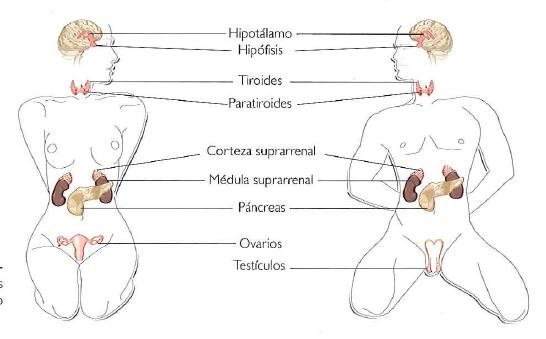 Endocrinas ser del glandulas humano sus funciones y principales