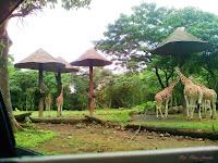Wisata Jatim,  Begini Ternyata Taman Safari Prigen Indonesia