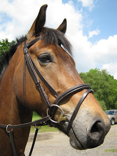 Up close of a bay horse wearing a bridle with trees in the background
