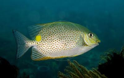 Ikan Beronang lingkis