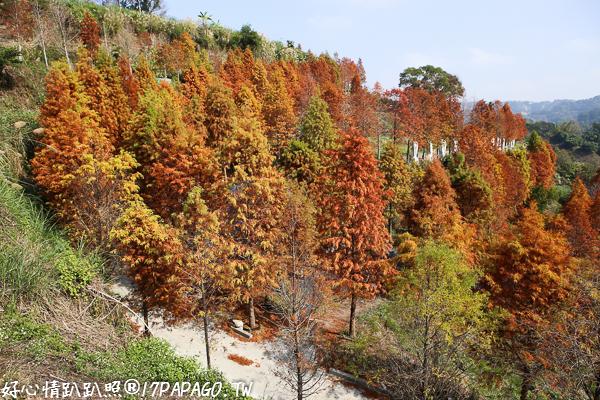 《台中.潭子》新田登山步道落羽松莊園-超秘境!滿山兩千棵發紅的落羽松