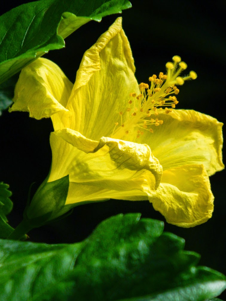 Yellow tropical hibiscus rosa sinensis Centennial Park Conservatory by garden muses-not another Toronto gardening blog
