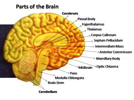 picture of parts of the brain