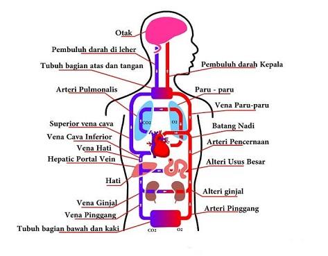 Sistem Peredaran Darah Manusia  berbagaireviewscom