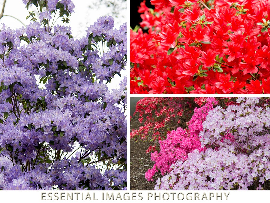 Colourful azaleas at Exbury Gardens