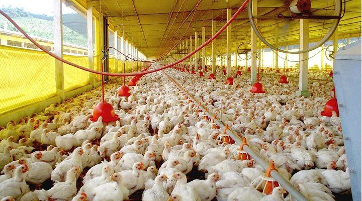como engordar rapido los pollos