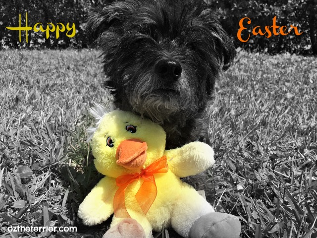Oz the Terrier black and white Easter Sunday