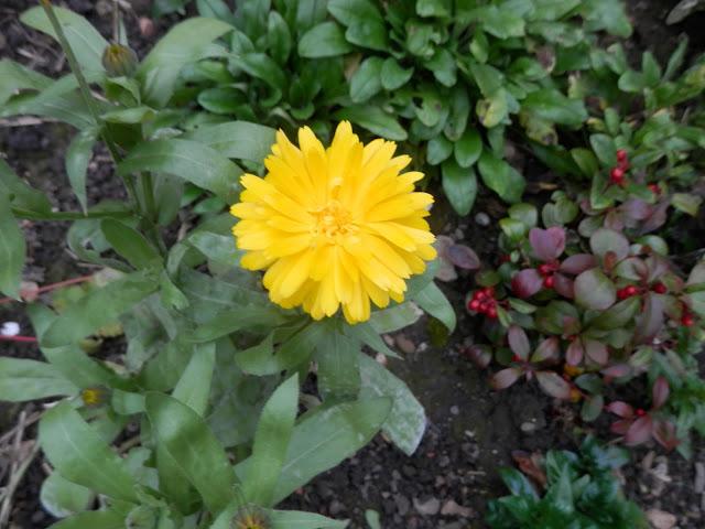 Diary of a suburban, edible garden, October 2016. secondhandsusie.blogspot.com #garden #gardening #subrbangarden