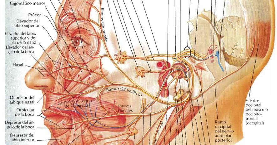 Nervio facial - Wikipedia, la enciclopedia libre