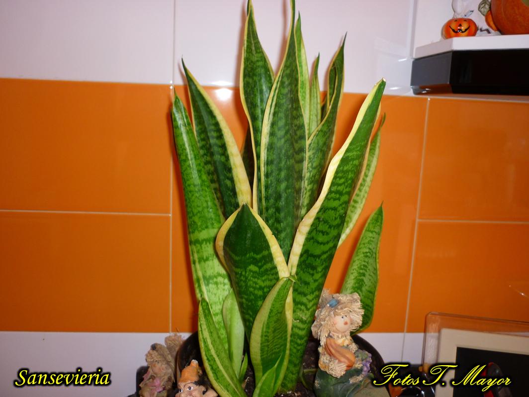 Flores Y Plantas Silvestres Sansevieria Trifasciata Espada De
