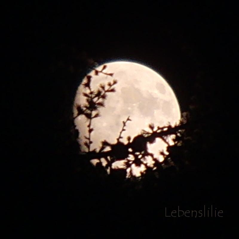 Lebenslilie Clair De Lune Musik Und Gedicht In Einer
