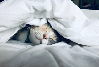grey and white cat sleeping under duvet