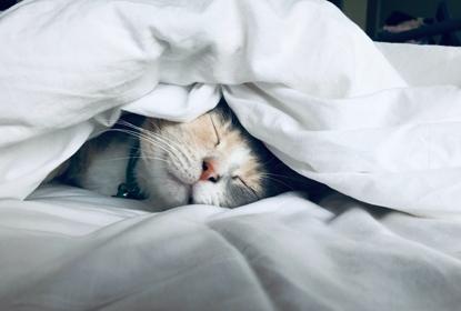 grey and white cat sleeping under duvet