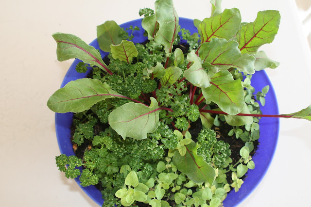 I grow these beats not for their roots but their greens. They are great for salads. Also included are parsley & oregano