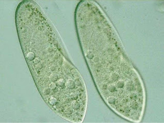 Gambar Protazoa