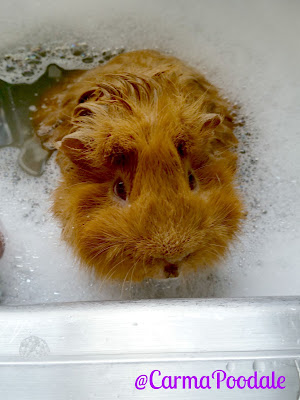 Guinea pig soaking in a bubble bath