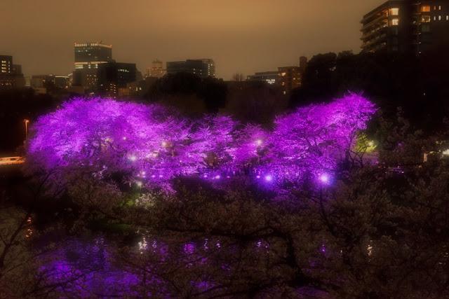 北の丸公園(千代田区)から望む千鳥ヶ淵の夜桜