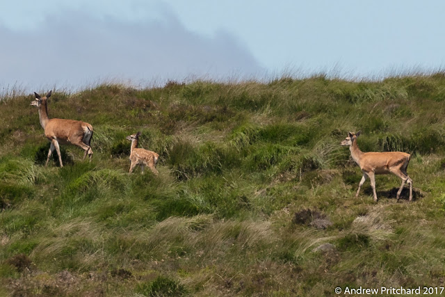 A calf walks diagonally up a grassy hillside in between two hinds.