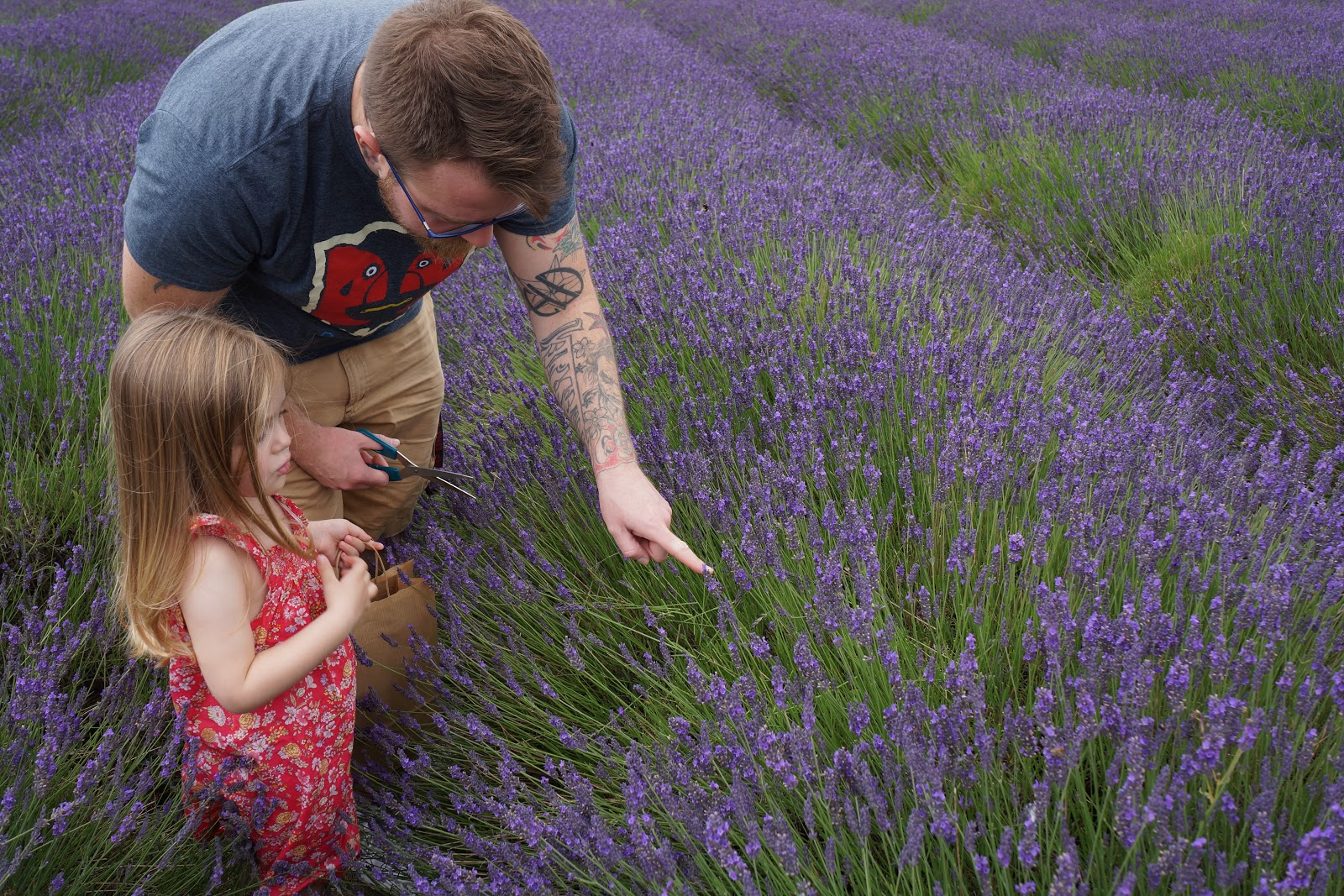 dad and daughter picking lavender
