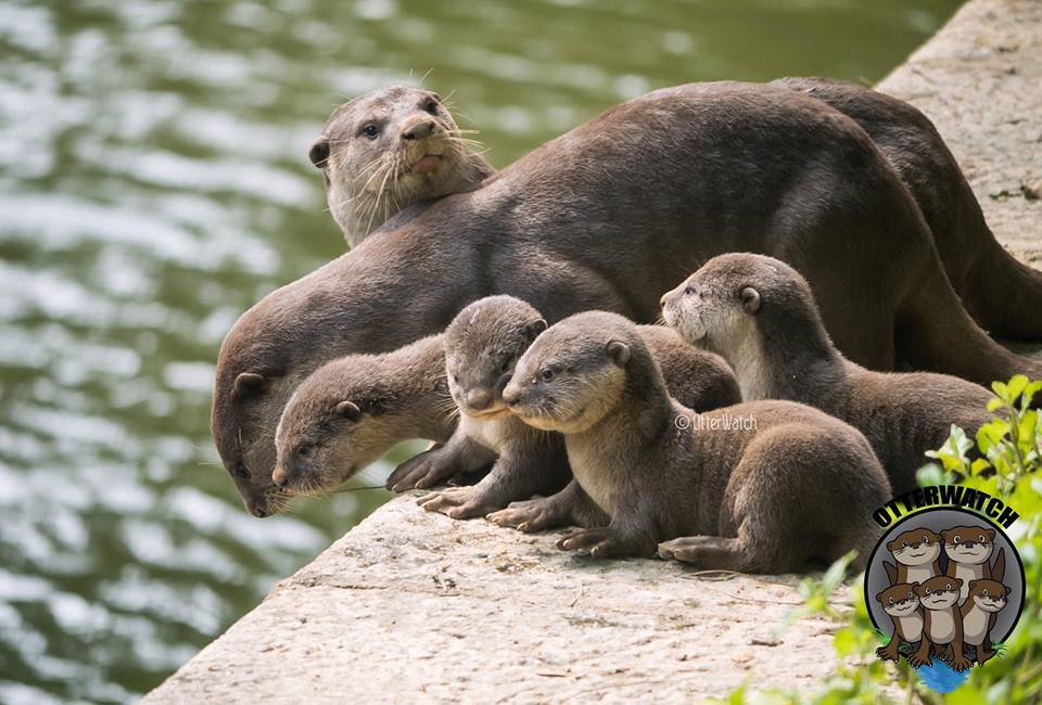 Marina otters move to Singapore River after losing their original home to rival Bishan family.