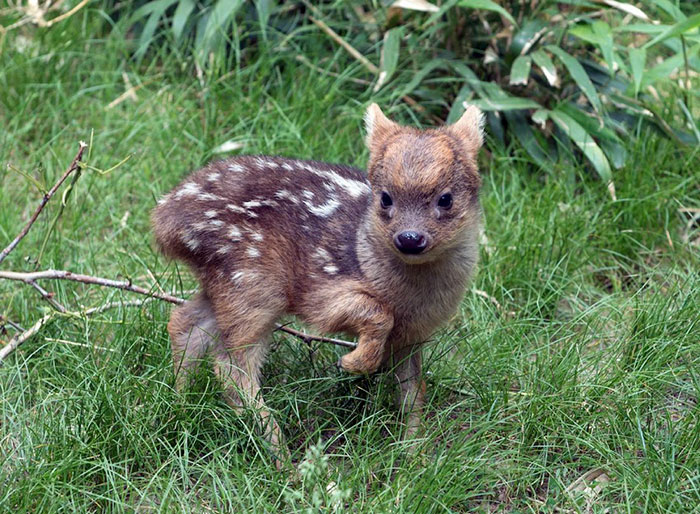 #8 Southern Pudu Fawn - 10 Rare Animal Babies You've Probably Never Seen Before