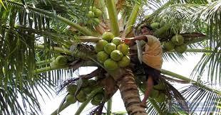 agar kelapa kopyor berbuah maksimal