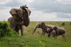elephant vs wildebeest