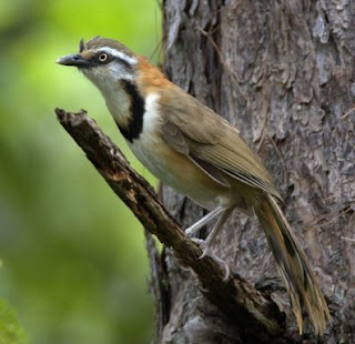 Poksay Lesser necklaced laughingthrush