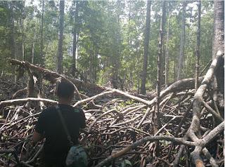 Hutan Mangrove, luasan dan Penyebarannya