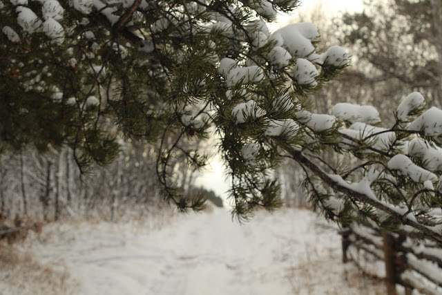 Snowy trail through pine trees