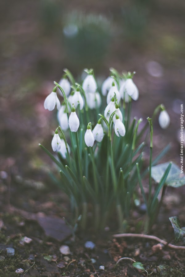 Photograph of Snowdrops