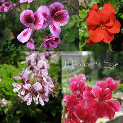 Pelargoniums I found in the False Bay garden