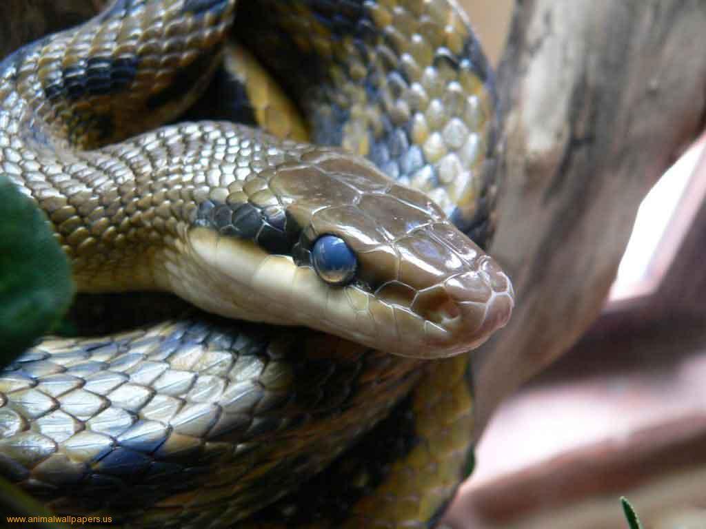 Cute Snake Hd Wallpaper Hd Wallpaper Of Blue Snake Hd Wallpapers