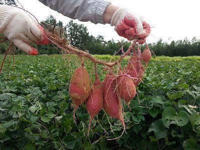 Klasifikasi Dan Morfologi Ubi Jalar (Ipomoea batatas (L) Lam)