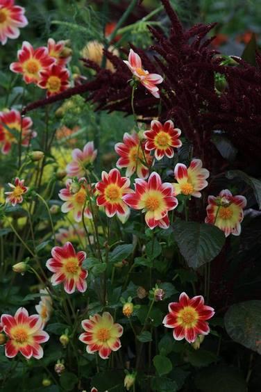 Flores de dalias flor sencilla en Jardin Claude Monet en Giverny en otoño