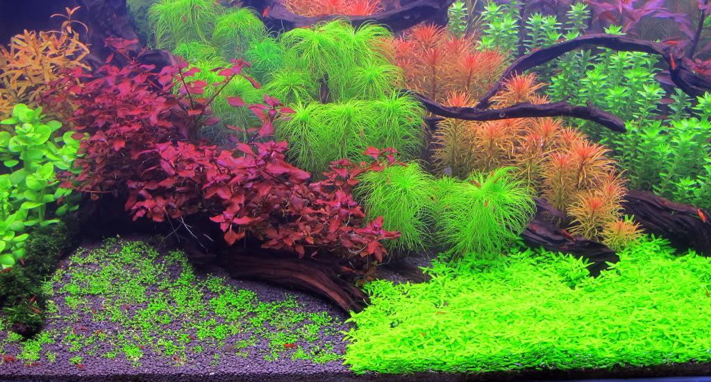 cây đàn thảo được chăm sóc tốt mang lại vẻ đẹp bất ngờ cho hồ thủy sinh