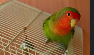 Cara Mengecek Telur di dalam Glodok Lovebird