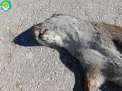 Νεκρή βίδρα στον ποταμό Αχέροντα (+ΦΩΤΟ)