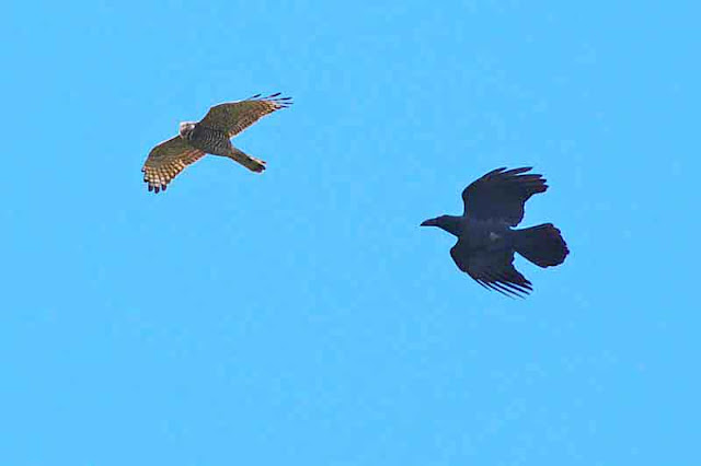 Eagle being chased by a crow, in flight