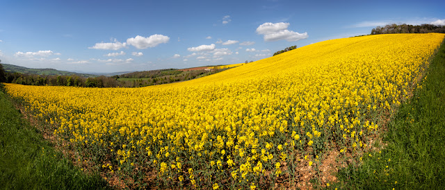 Gloucestershire Cotswolds sunny yellow field panorama on a beautiful day