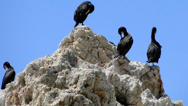 Aalscholvers op een rots in Spanje