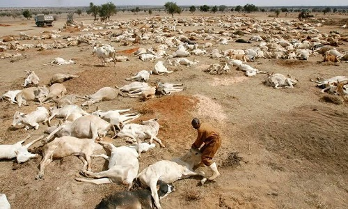 Heavy TensionToday: See Photos How Tears Roll As Atah Of Igala Land Strikes Fulani Herdsmen And Thousands Of Rampaging Cows With Thunder (photo)