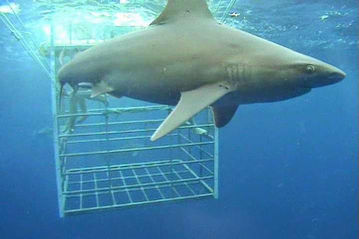 Shark Cage Diving in Oahu during Honeymoon in Hawaii