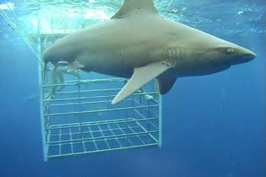 Shark Cage Diving in Oahu during Honeymoon in Hawaii