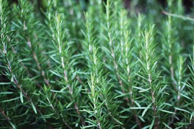 Amazing Health Benefit Of Rosemary