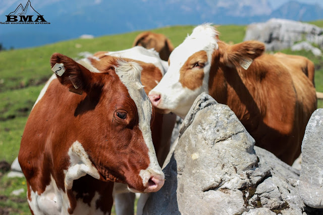 stuhlalm -kühe auf der alm - wandern dachstein steiermark